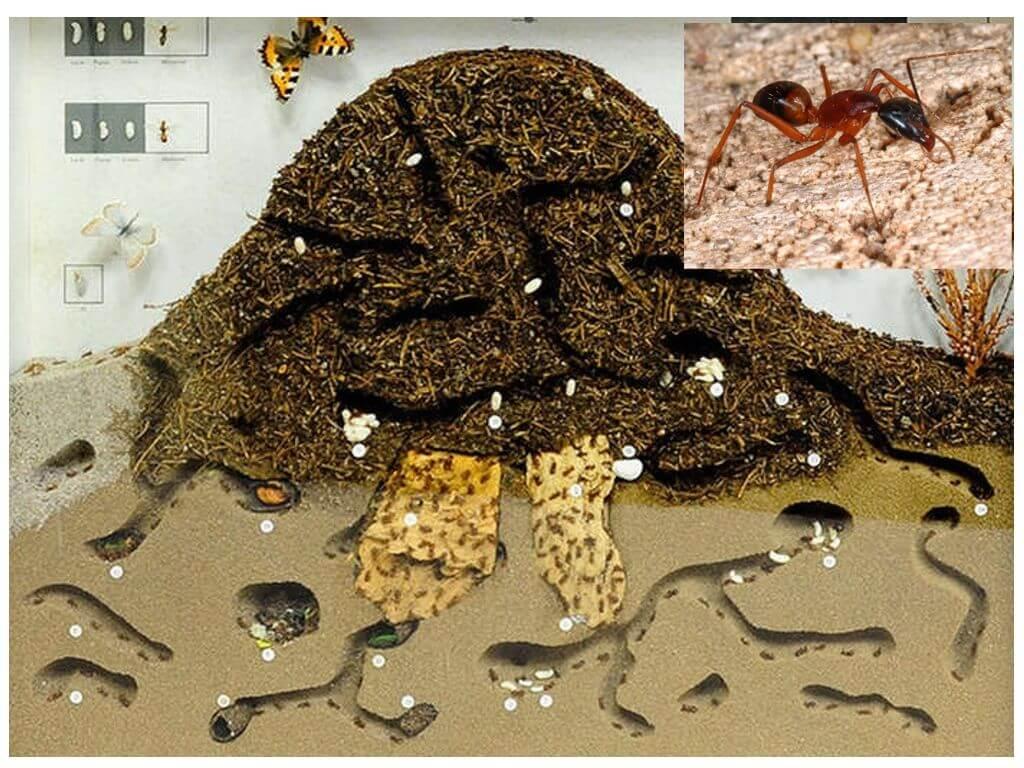 Как устроен муравейник?