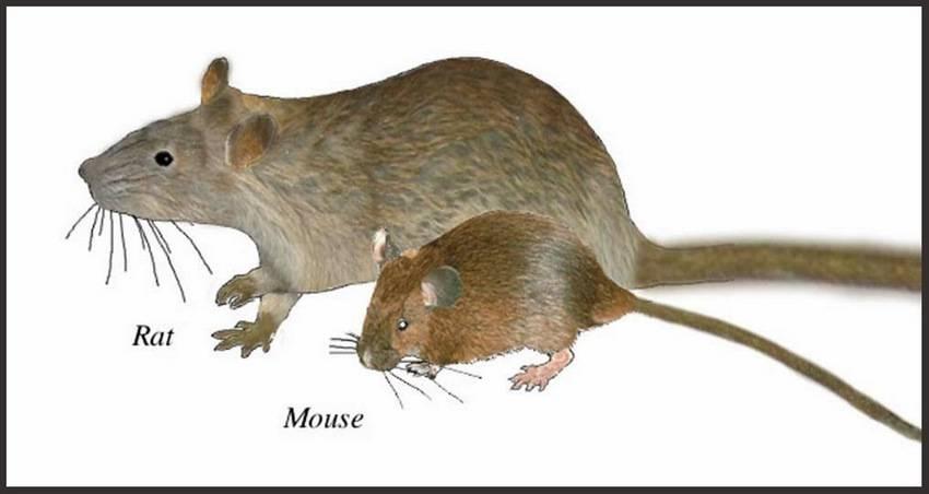 Отличие крысы от мыши - люблю хомяков