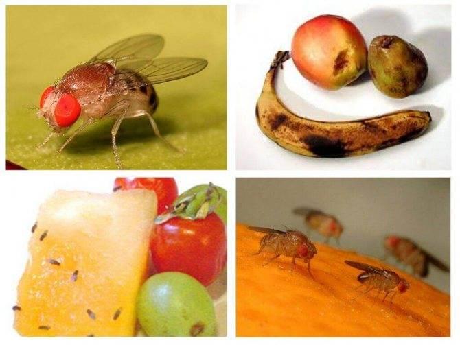 Откуда берутся мошки на фруктах и как избавиться от фруктовых мошек