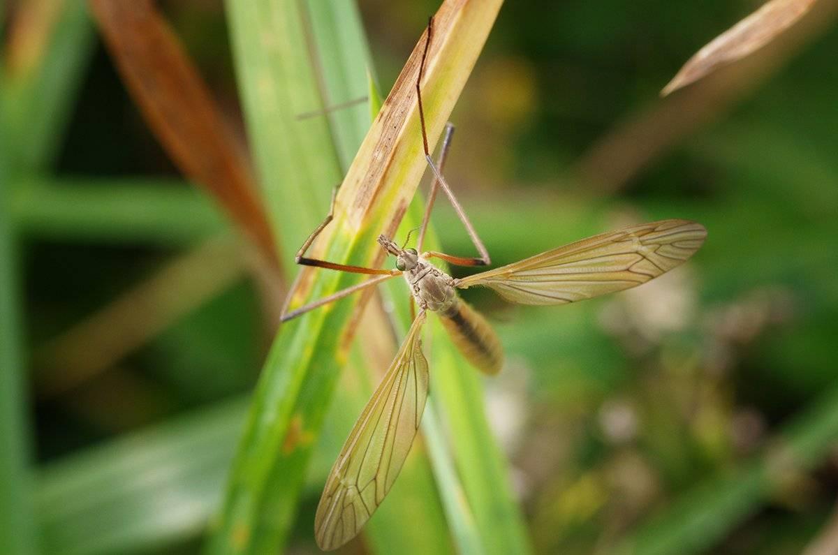 Строение комара,чем пищит,сколько ног,ротовой аппарат,сколько зубов,вес,развитие