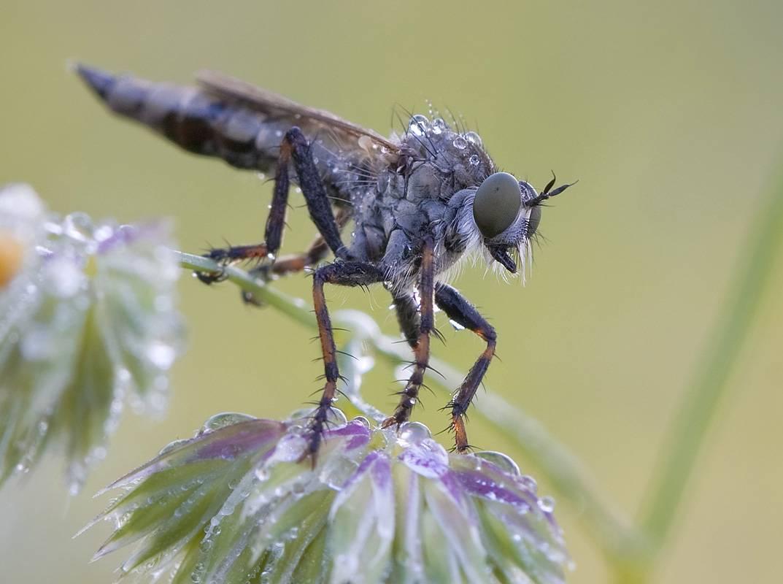 Почему человеку так трудно убить муху, а мухе-убийце — запросто