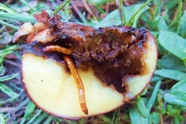 Болезни клубней картофеля: описание с фотографиями и способы лечения