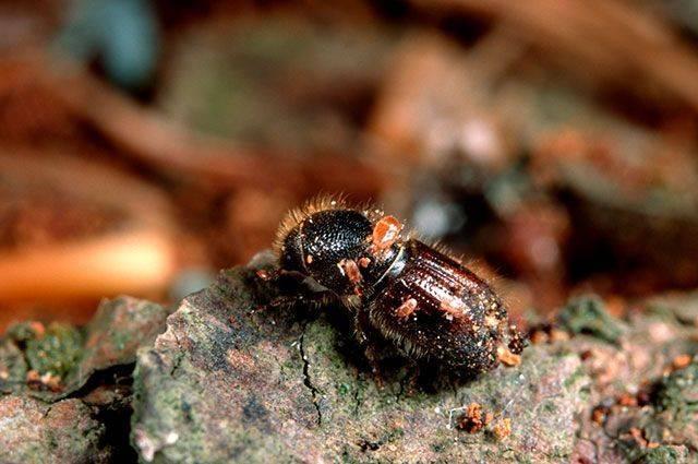Муравьежук обыкновенный: внешний вид и польза насекомого для человека
