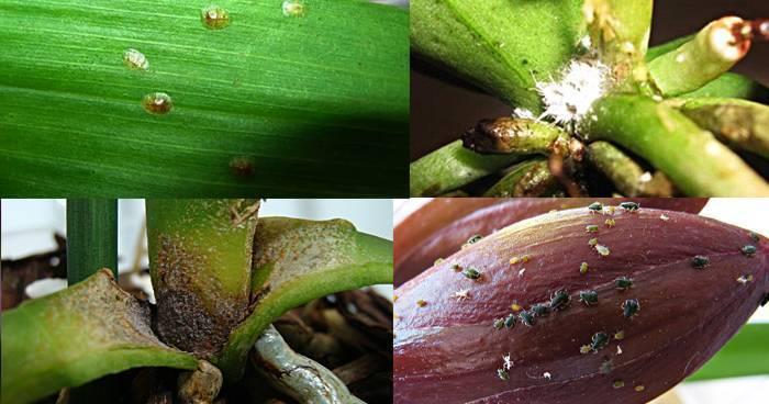 Какой препарат выбрать, чтобы избавиться от щитовки на орхидее