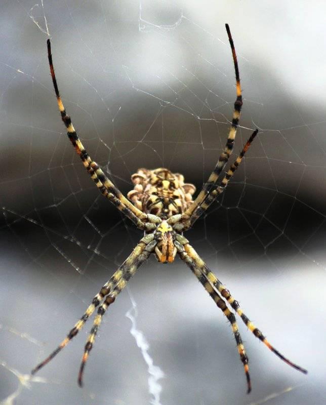 Пауки Крыма – подборка фото самых интересных и опасных паукообразных