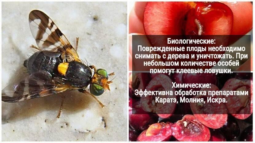 Вишневая муха: методы борьбы, чем обработать вишню и черешню в качестве профилактики, как она выглядит, фото