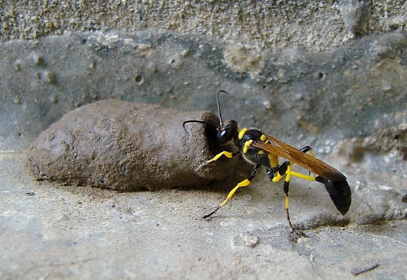 Оса — строение тела, виды, жилища, характер и образ жизни, питание. как выглядят осы, фото и описание различных видов ос