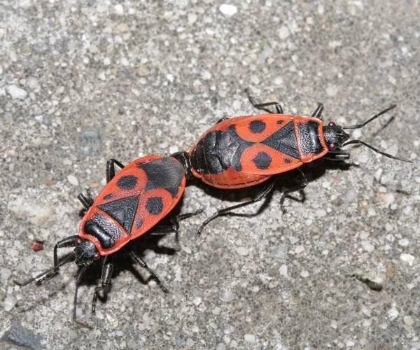 Жук солдатик — особенности жизнедеятельности, правила борьбы с насекомым