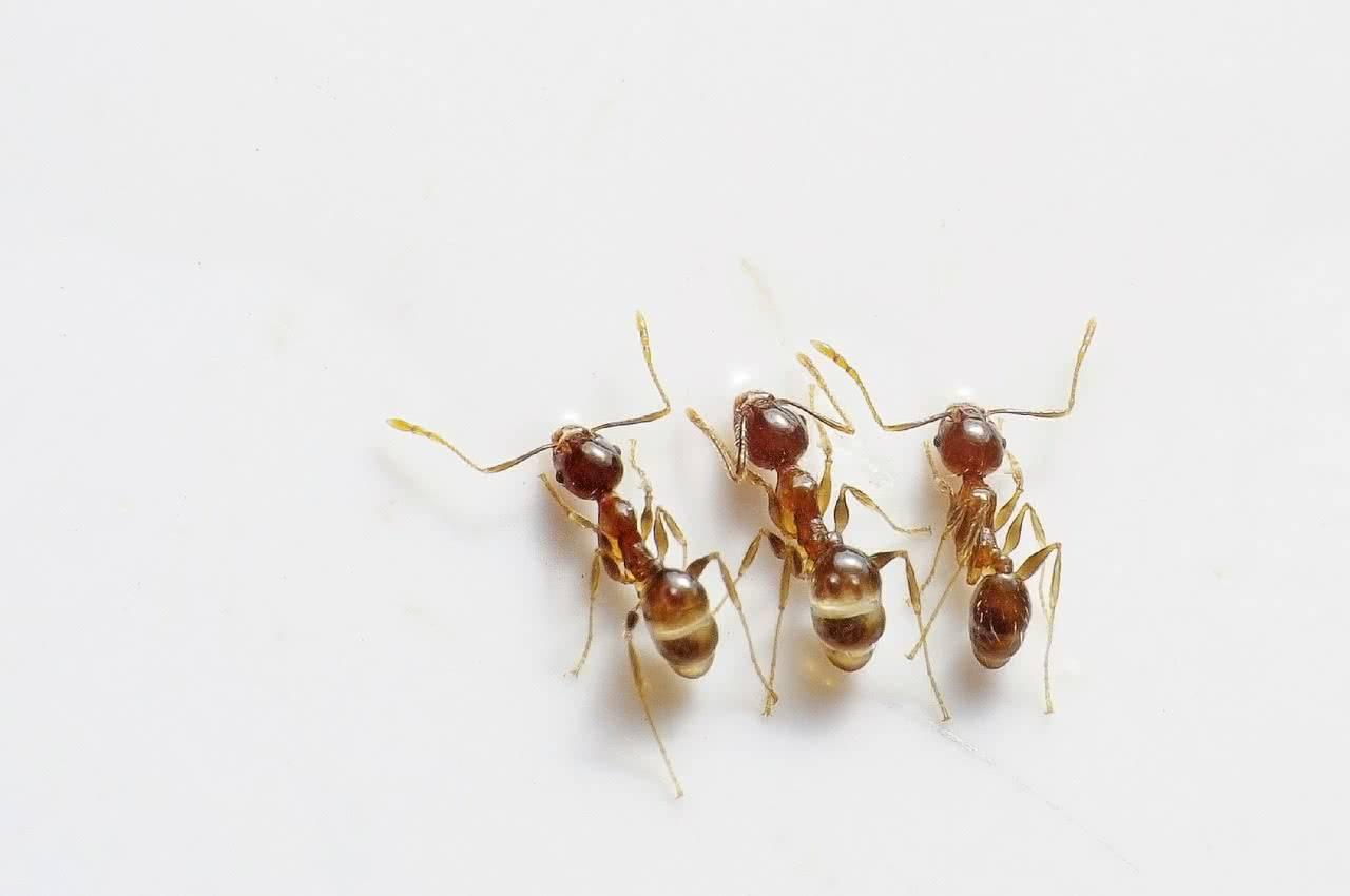 Что делать при появлении в квартире муравьев фараонов
