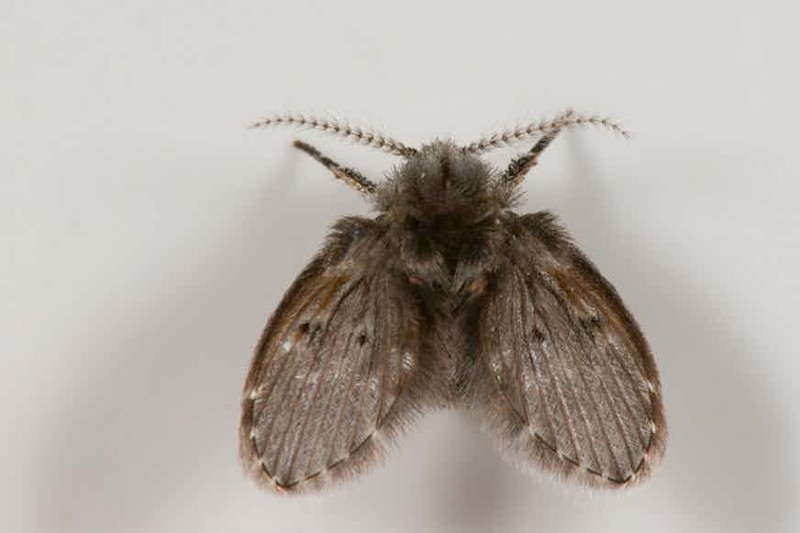 Как выглядит и чем опасна бабочница?