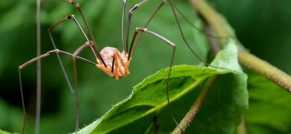 Паук-сенокосец (паук-долгоножка) – описание, фото, виды, яд