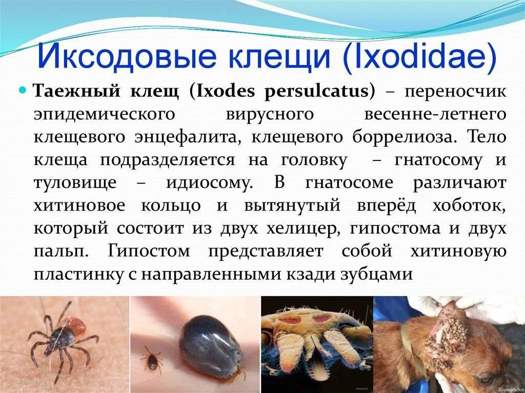 Иксодовые клещи — большая медицинская энциклопедия