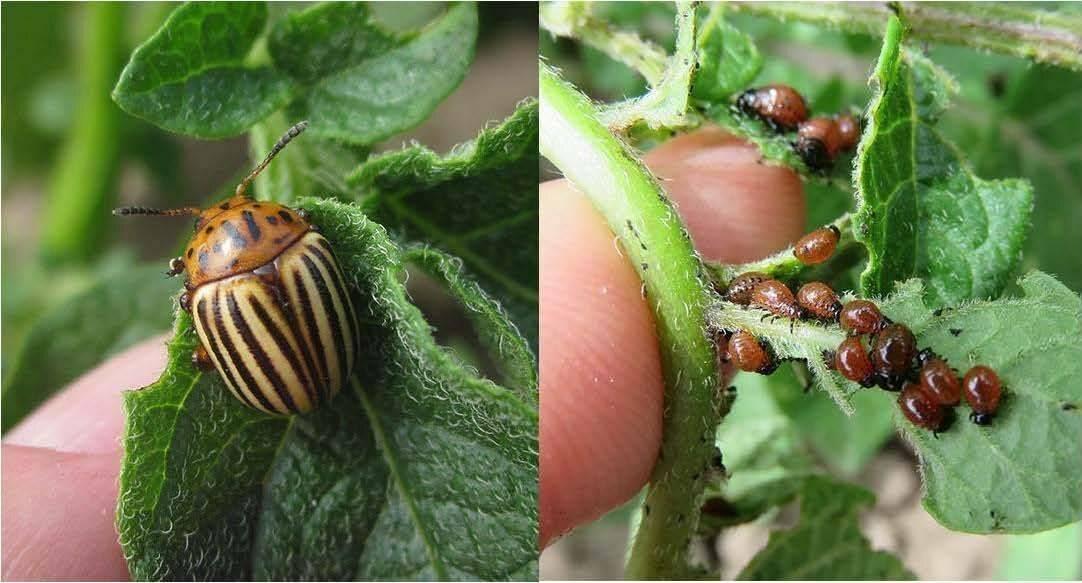 Основные методы борьбы с личинками колорадского жука