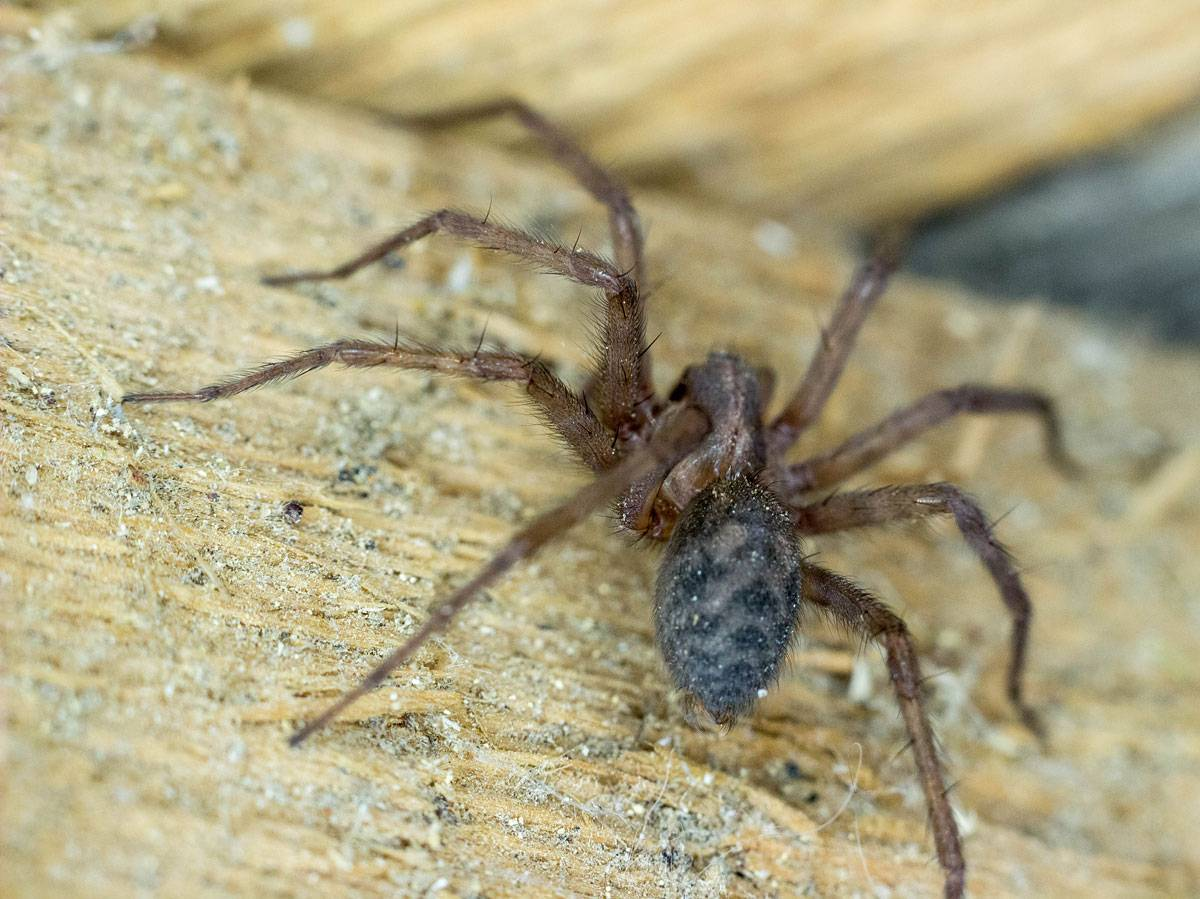Домашний паук-птицеед: особенности содержания