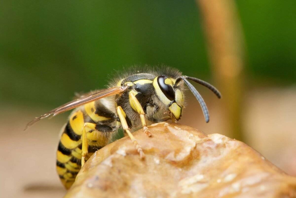 Земляные осы на даче как избавиться
