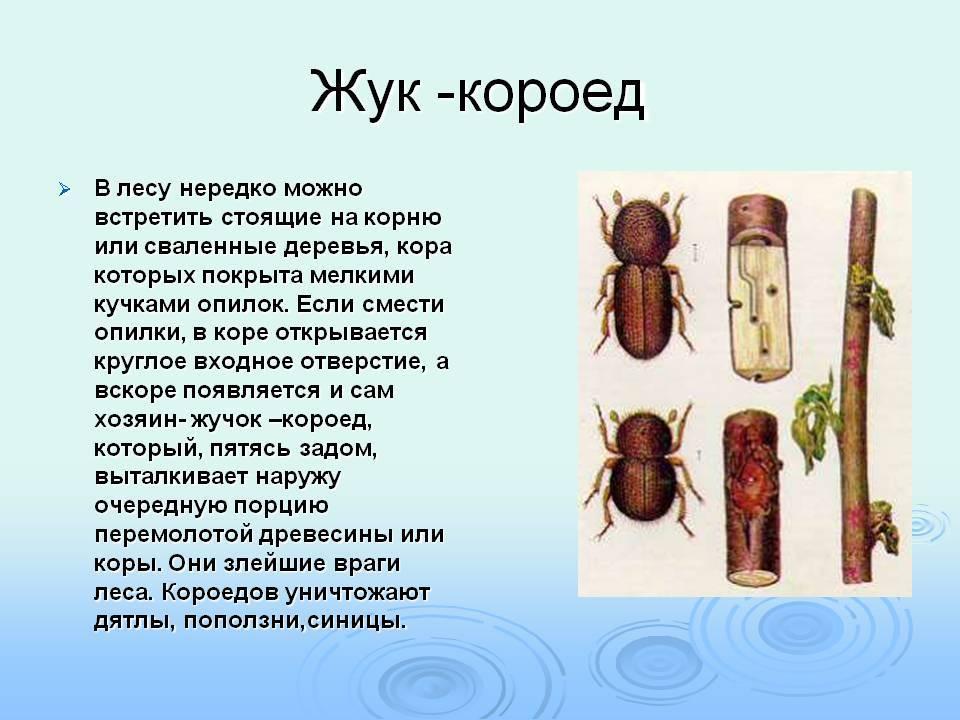 Короед вершинный | справочник пестициды.ru