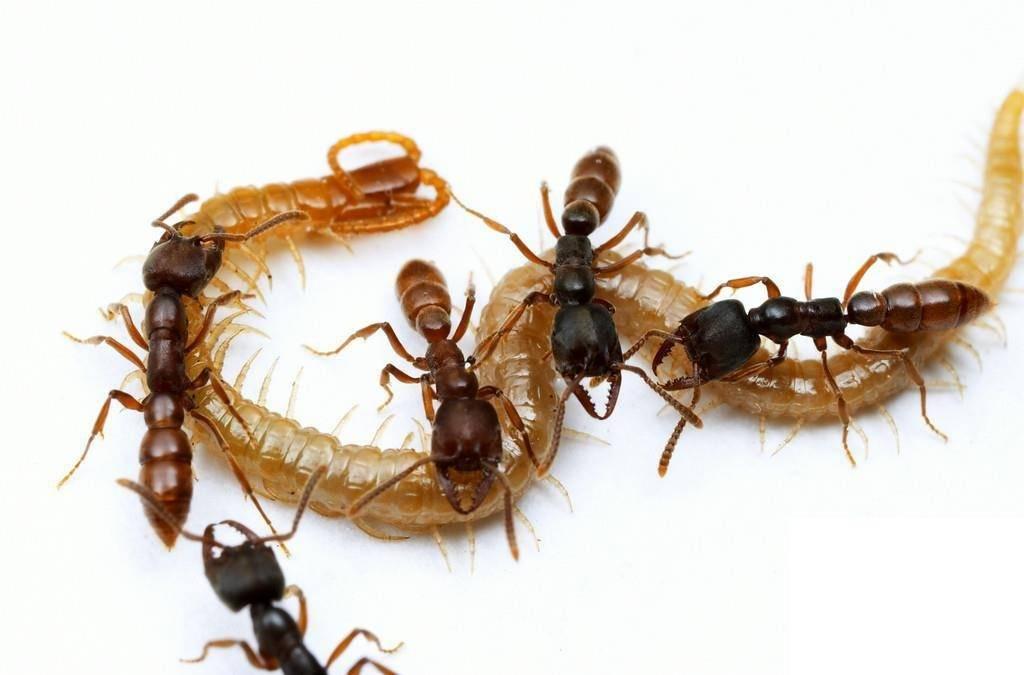 Чем питаются муравьи? ротовой аппарат и челюсть русский фермер