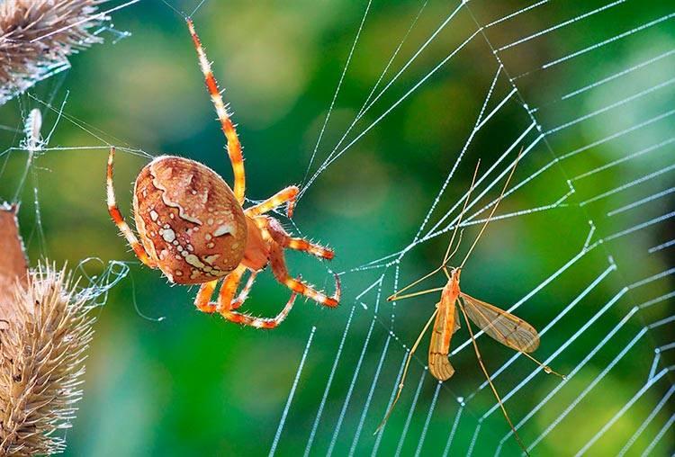 Паук-крестовик | клуб любителей муравьев