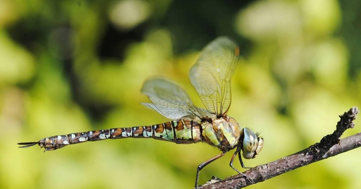 50 интересных  фактов  о стрекозах — общенет