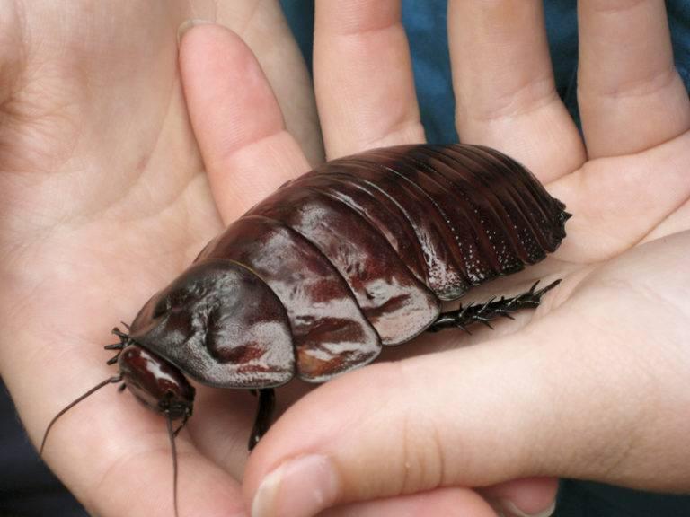 Большие тараканы как называются