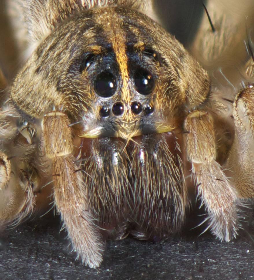 Описание, фото и основные особенности одного из самых интересных видов пауков в россии и мире — тарантула