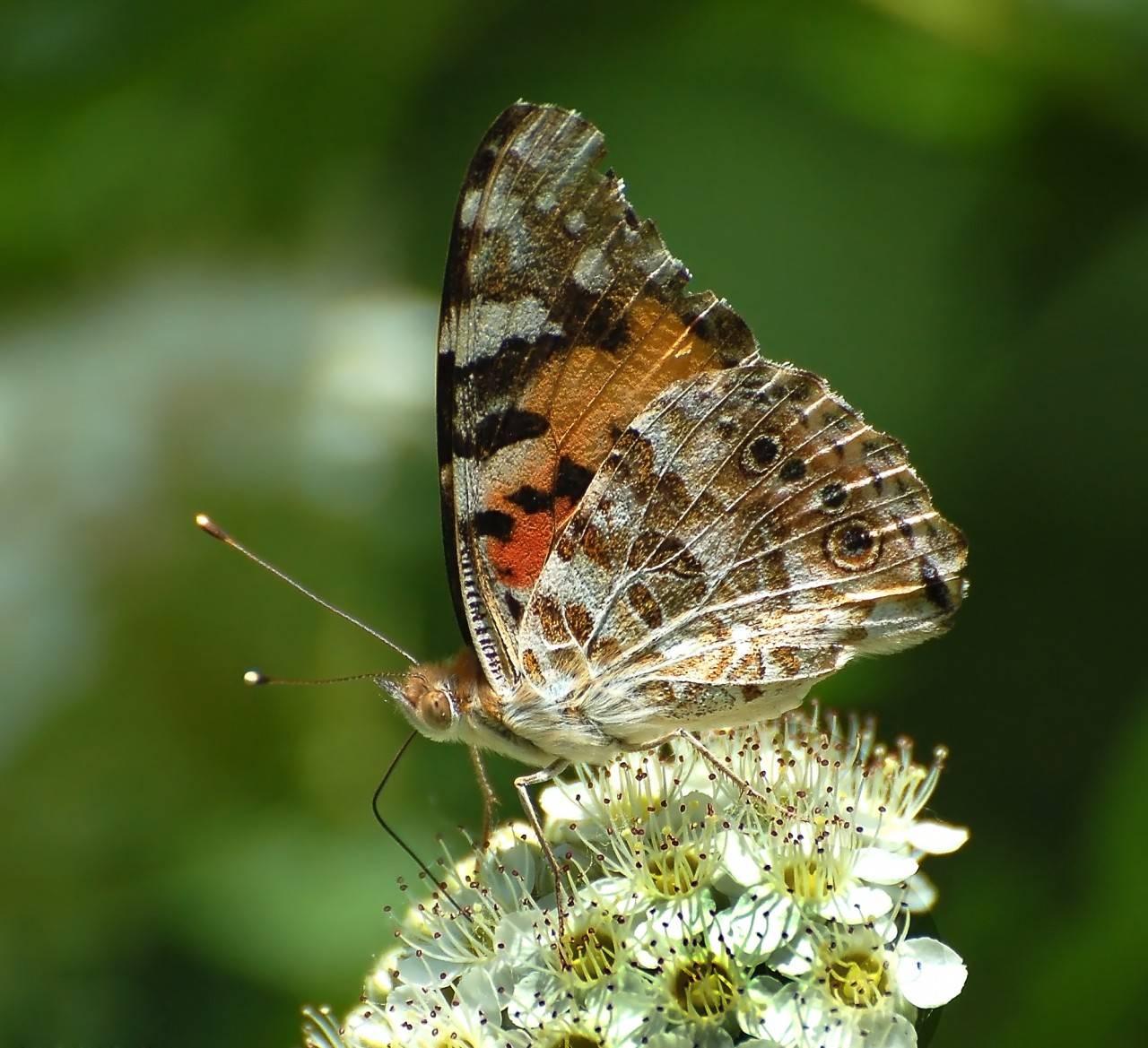 50 самых интересных фактов о бабочках — общенет