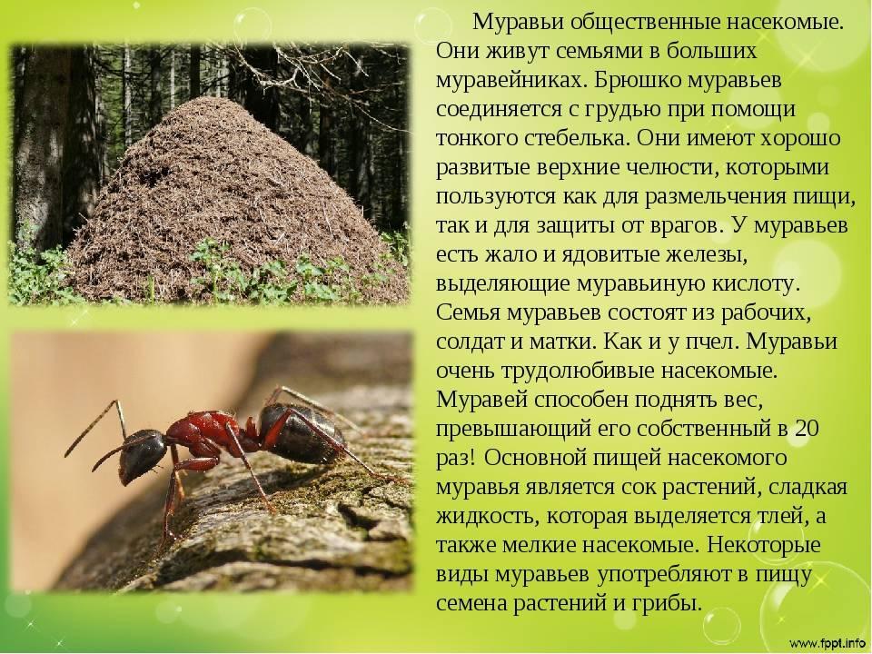 Лесные муравьи в саду: польза и вред