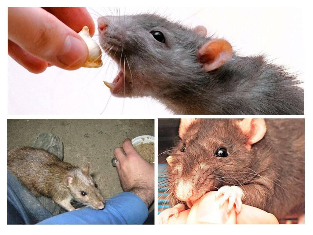 Могут ли крысы напасть на человека