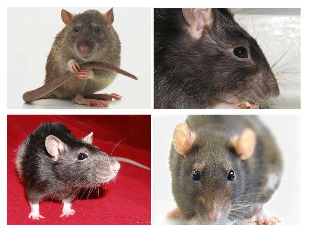 Крыса умирает: признаки приближающейся смерти, что делать после гибели питомца
