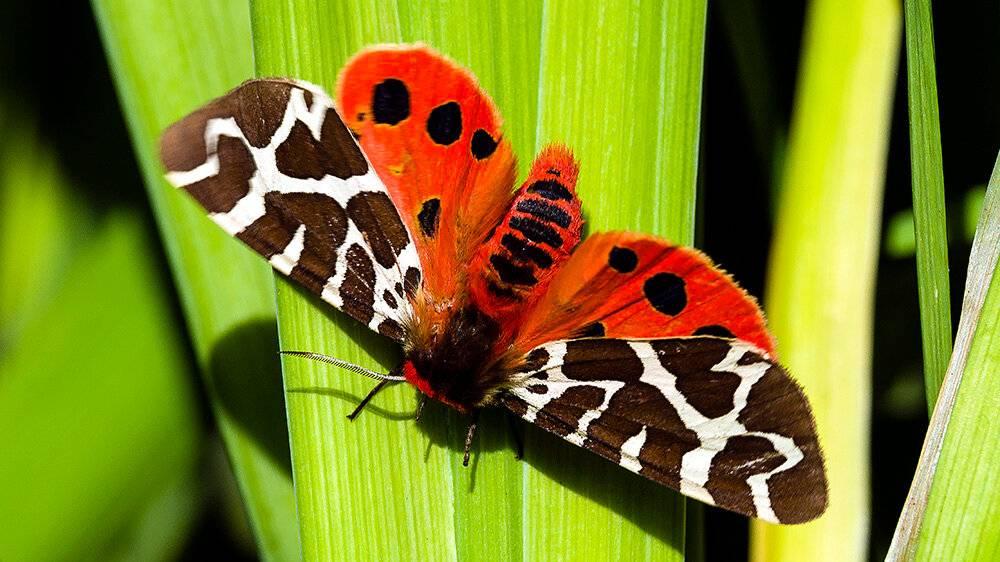 Бабочки медведицы: описание, виды