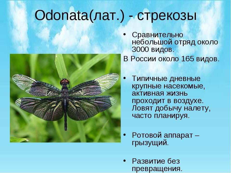 Стрекоза решетчатая, или стрекоза голубая   мир животных и растений