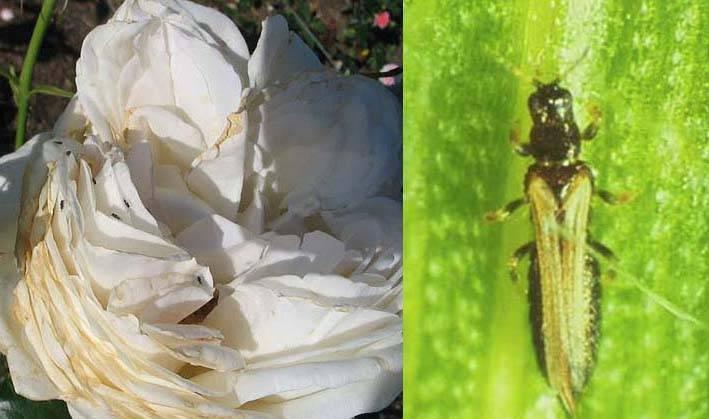 Трипсы на комнатных растениях: как выглядят на фото, как бороться с помощью народных средств, как еще избавиться, и способы борьбы, препараты для лечения заражения