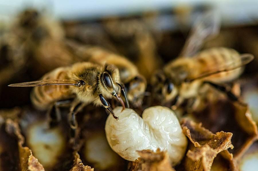 Пчеловидка цепкая — муха, притворяющаяся пчелой