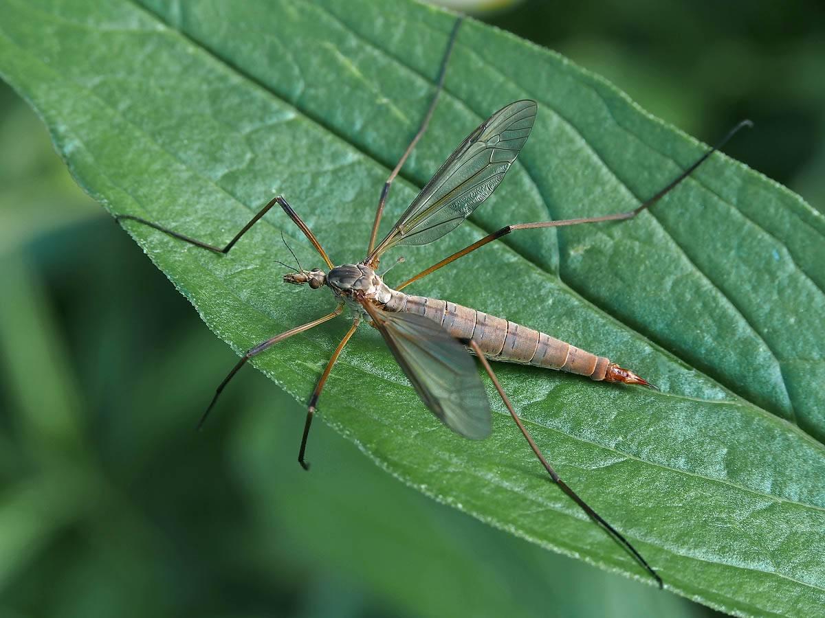 Название и описание большых комаров с длинными ногами