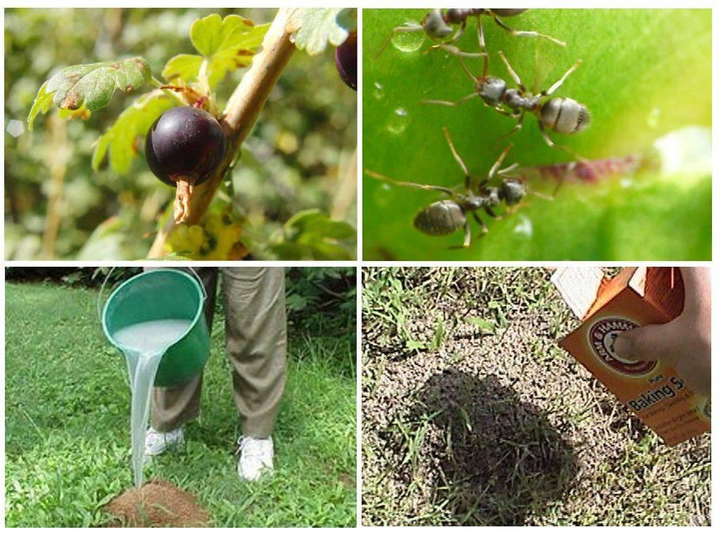 Как избавиться от муравьев на участке? современные методы и народные советы