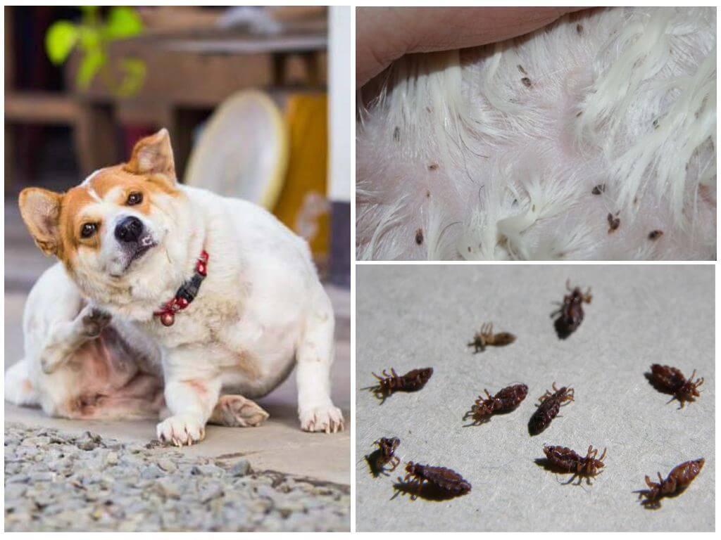 Избавить щенка от блох. как это сделать в домашних условиях