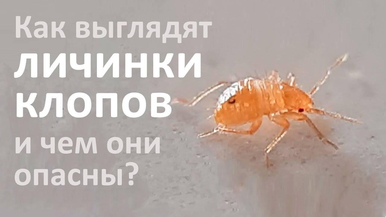 ❶ через какое время после обработки от клопов насекомые погибают: они исчезнут быстро или нет