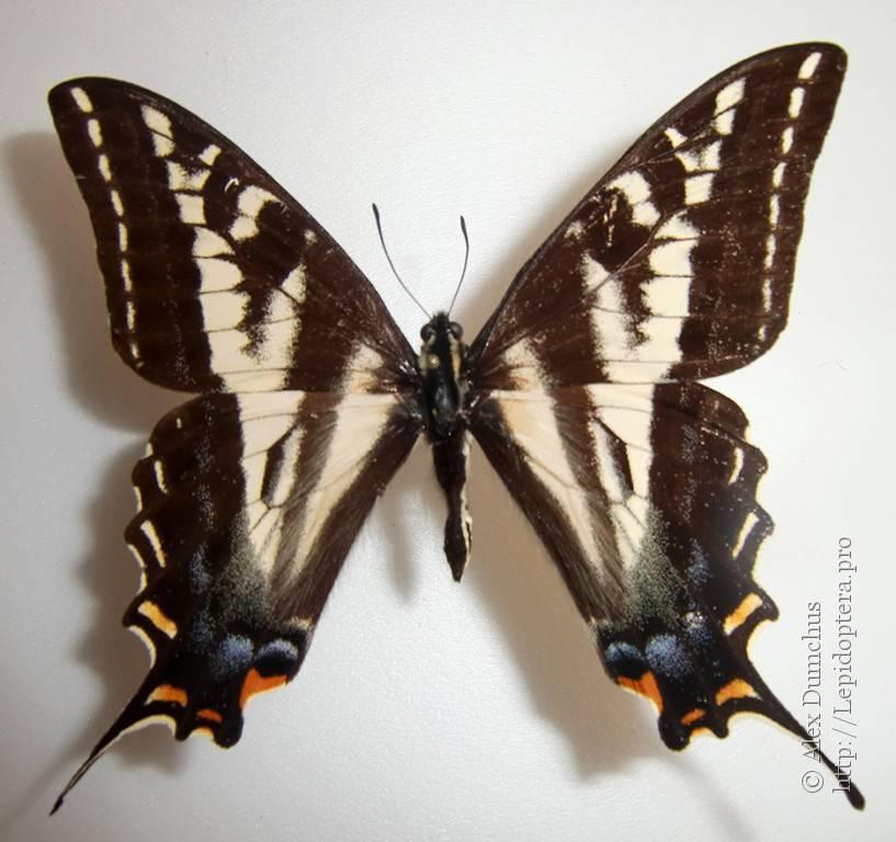 Капустница бабочка насекомое. описание, особенности, виды и фото капустницы | живность.ру
