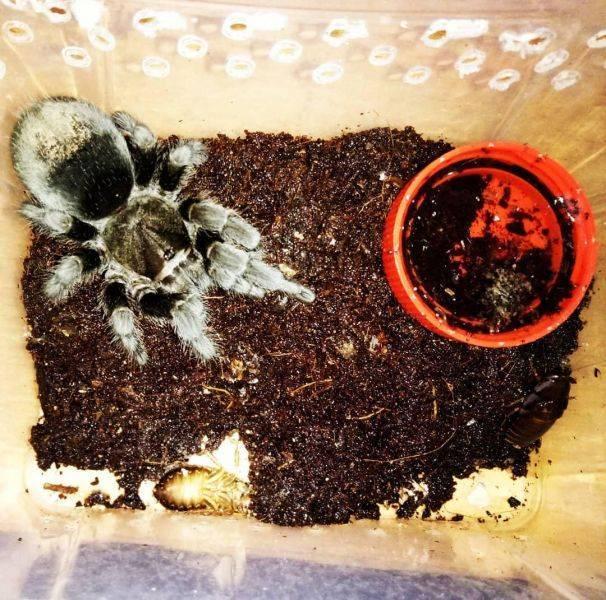 Домашние пауки птицееды — это вам не котята