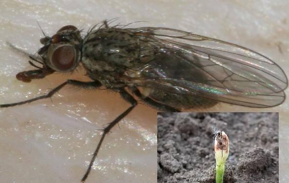 Какую опасность представляет минирующая муха для огорода и как с ней бороться?