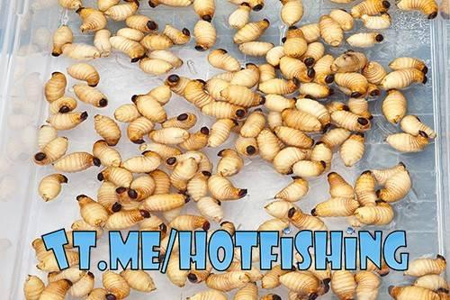 Домашние вредители – личинки моли