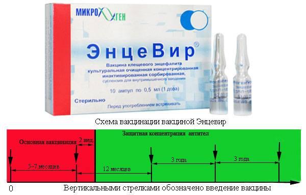 Прививка от клещевого энцефалита схема вакцинации взрослым
