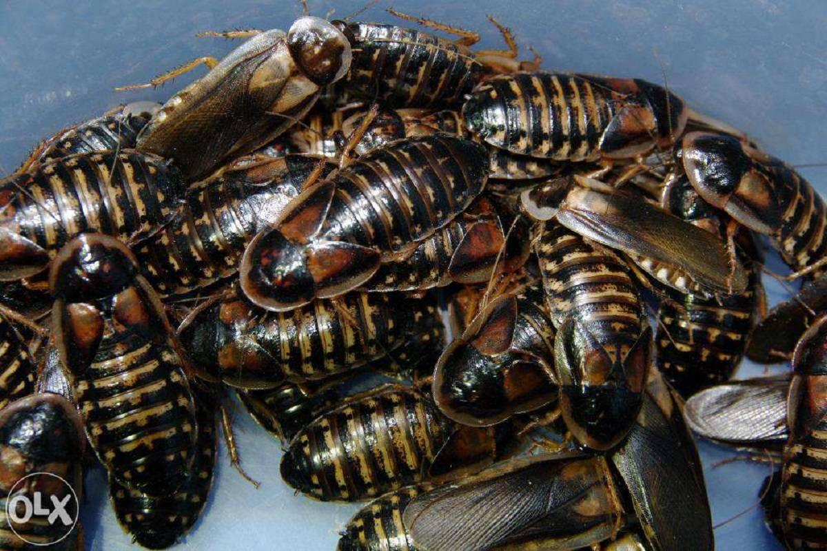Аргентинский таракан содержание и разведение