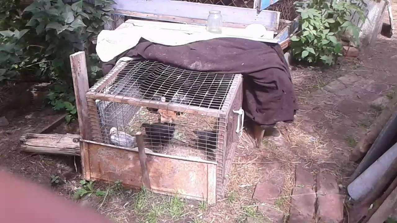 Крысы в курятнике — что делать?