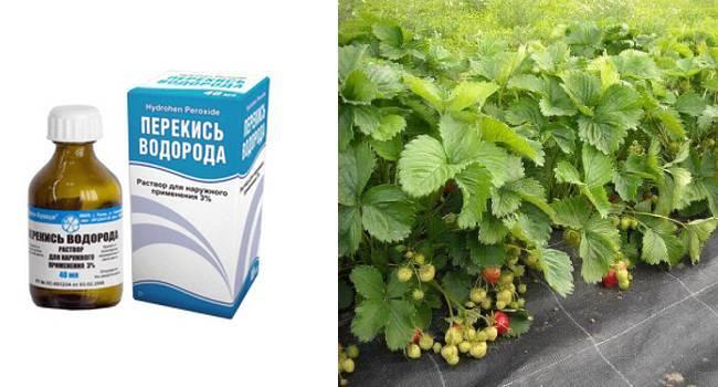 Обработка клубники нашатырным спиртом   во саду и в огороде