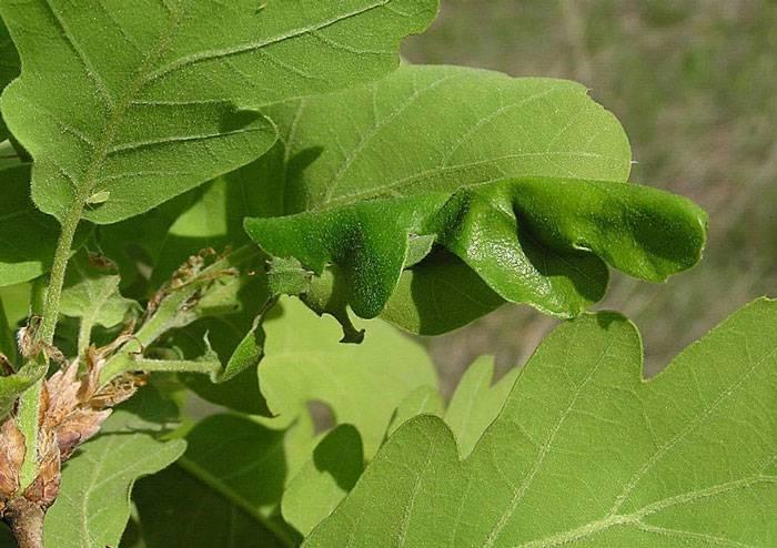 Зеленая дубовая листовертка