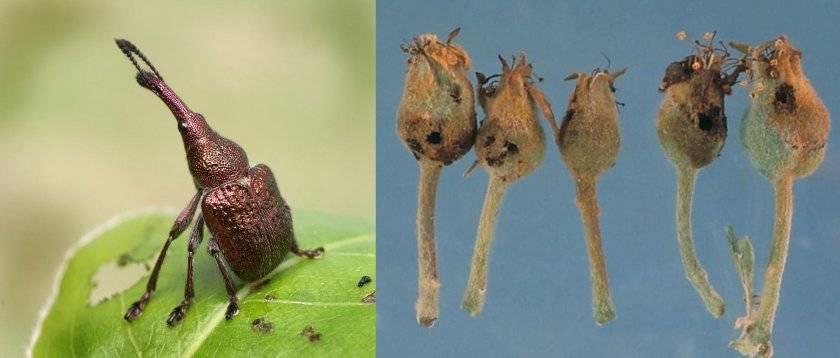 Вредители груши: фото, описание и методы борьбы