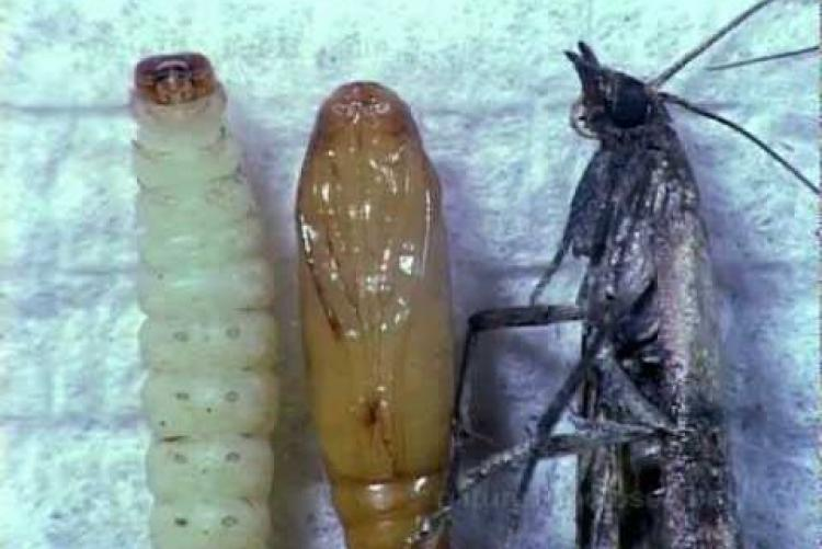 Все о моли: как выглядит, размножается, питается в квартире
