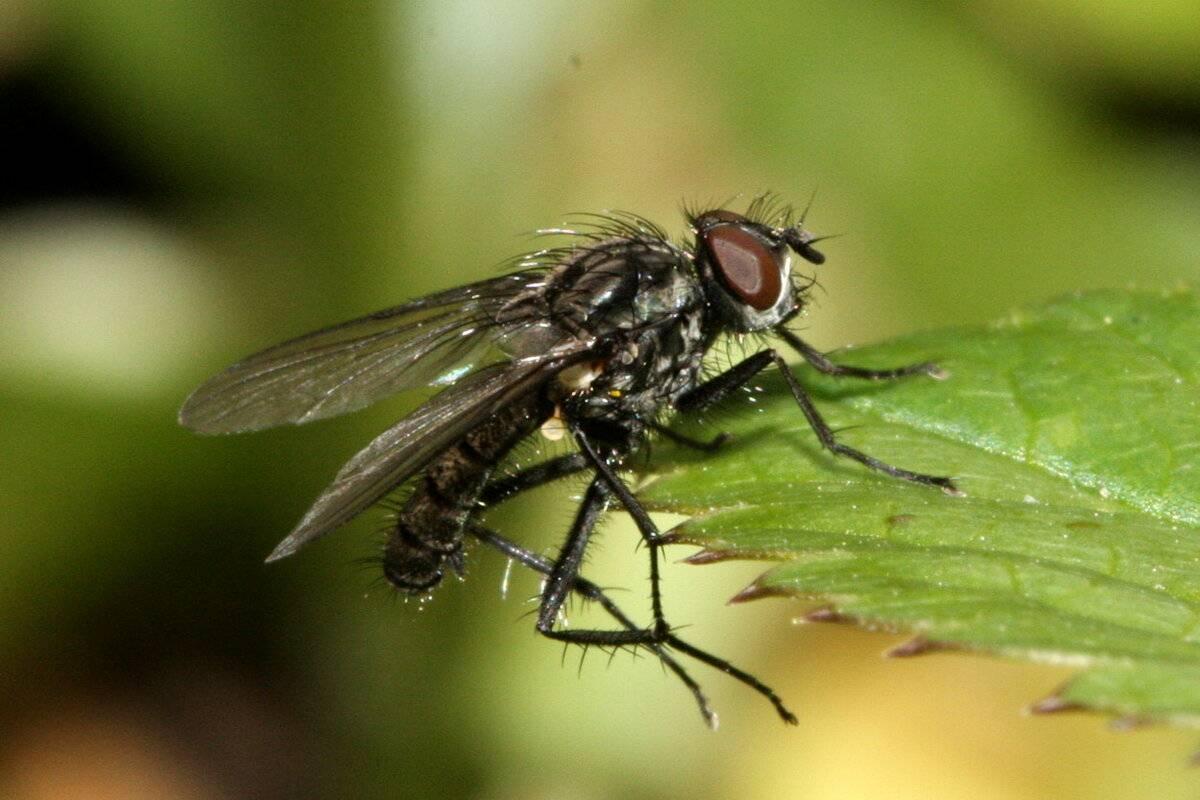 Капустная муха: фото, как с ней бороться, народные средства