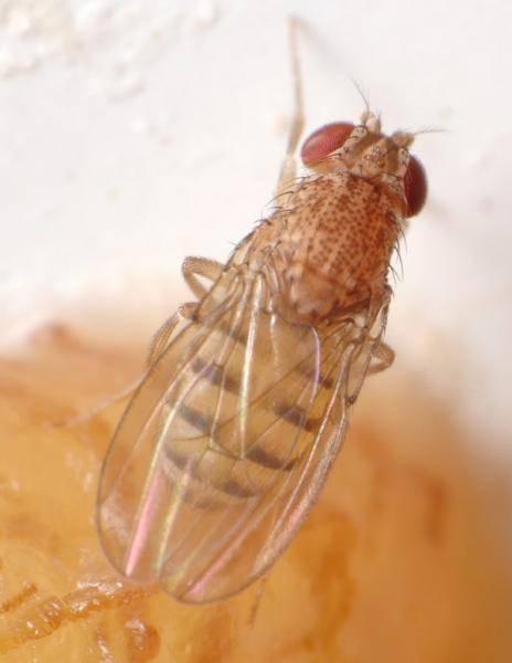 Откуда берутся и как избавиться от мух дрозофил? / как избавится от насекомых в квартире